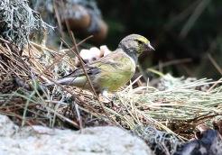 Corsican Citril Finch