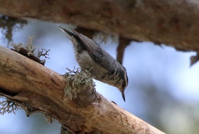 Corsican Nuthatch