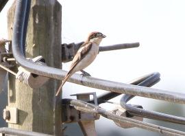 Balearic Woodchat Shrike