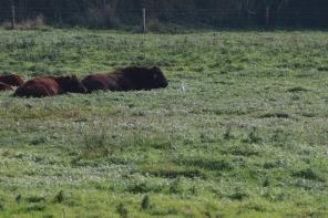 Cattle Egret, Stiffkey 24th September
