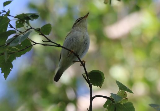 Arctic Warbler, Wells, 18th September