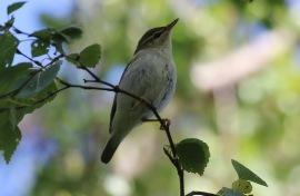 Arctic Warbler, Wells, 18th September