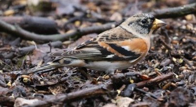 Brambling, Lynford 31st December