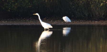 Great White Egret, Larksheath Mere, 5th November