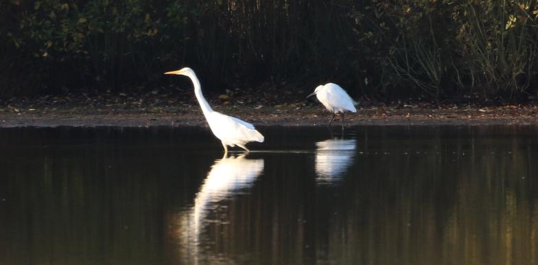 Great White Egret, Larksheath Mere, 5th November