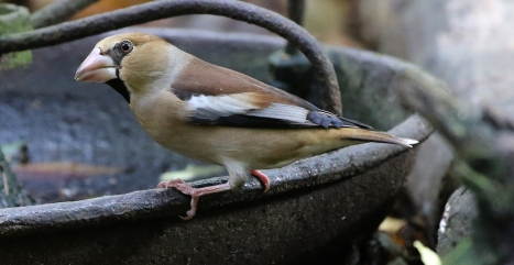 Hawfinch. Lynford. 21st October