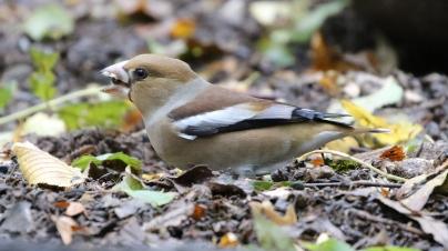 Hawfinch. Lynford. 21st October