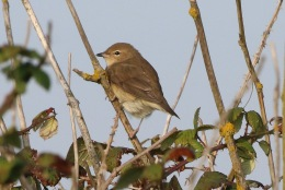 Garden Warbler, Salthouse 24th September
