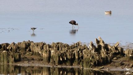 Glossy Ibis, Wissington BF 9th September