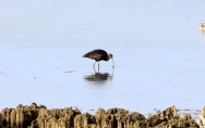 Glossy Ibis, 9th September