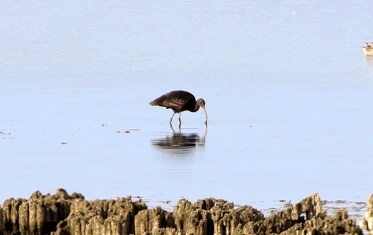 Glossy Ibis, Wissington BF 9th September