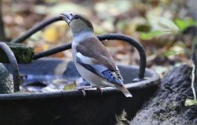 Hawfinch, Lynford 15th October