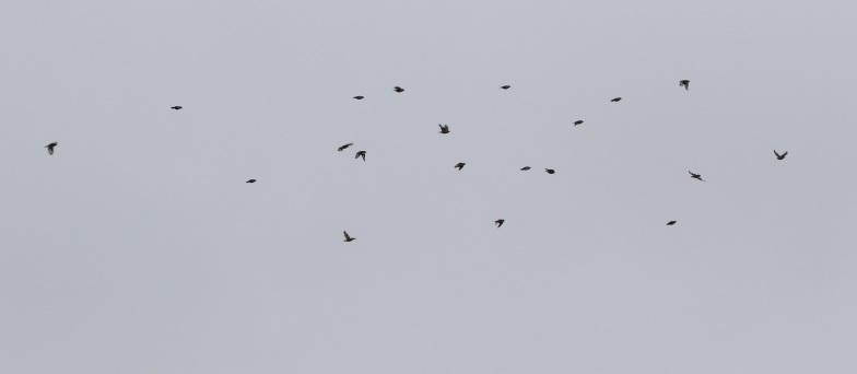 Hawfinch, Lynford, 1st October