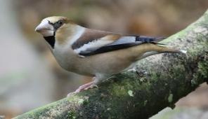 Hawfinch, Lynford 3rd November
