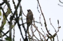 Hawfinch, Lynford 19th October