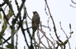 Hawfinch, Lynford 19th October