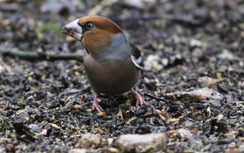 Hawfinch, Lynford 31st December