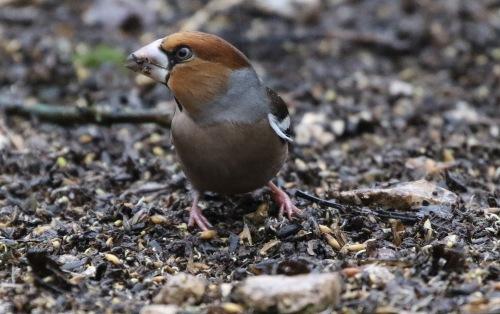 Hawfinch, Lynford 31st December