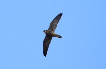 Hobby, Wereham, 9th September