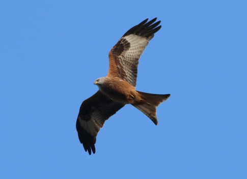 Red Kite, Cockley Cley 26th November