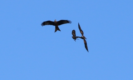 Red Kites and a Buzzard, Cockley Cley, 26th November