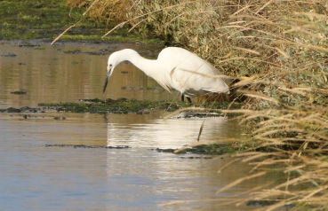 Little Egret, Salthouse, 24th September