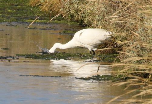 Little Egret, Salthouse, 24th September