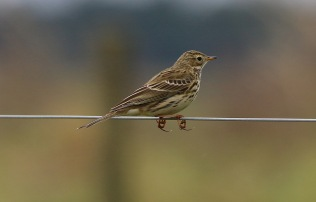 Meadow Pipit, Hilbrough Estate, 7th October