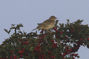 Meadow Pipit, Cockley Cley 17th September