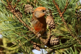 Parrot Crossbill, Santon Downham, 29th November