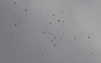 Parrot Crossbill, Santon Downham, 29th November