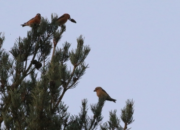 Parrot Crossbill, Santon Downham 26th November