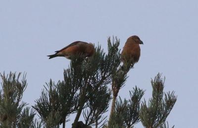 Parrot Crossbill, Santon Downham 26th November