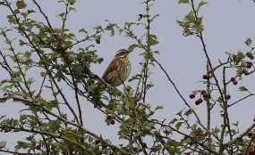 Redwing, Hilbrough Estate, 7th October