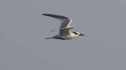 Sandwich Tern, Salthouse 24th September