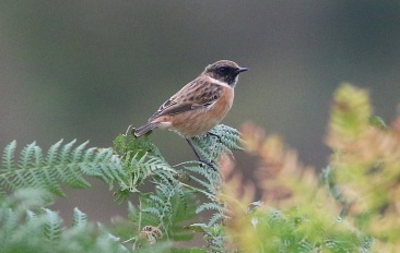 Stonechat, Hilbrough Estate, 7th October