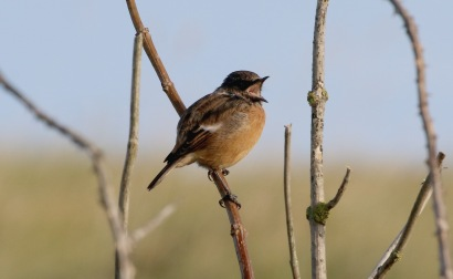 Stonechat, Salthouse 24th September