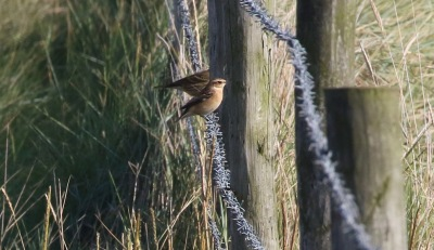 Whinchat, Salthouse 24th September