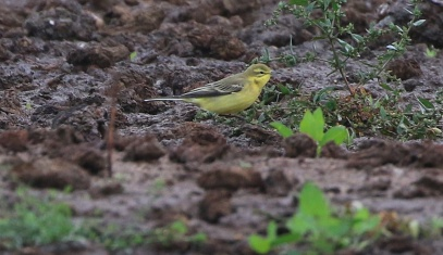 Yellow Wagtail, Wissington 9th September