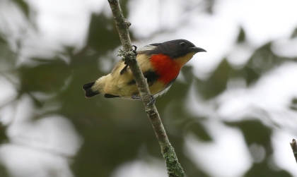 Javan Blood-breasted Flowerpecker