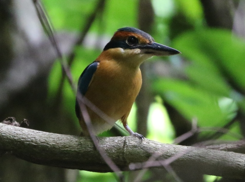 Cinnamon-banded Kingfisher