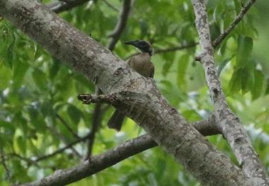 Helmated Friarbird