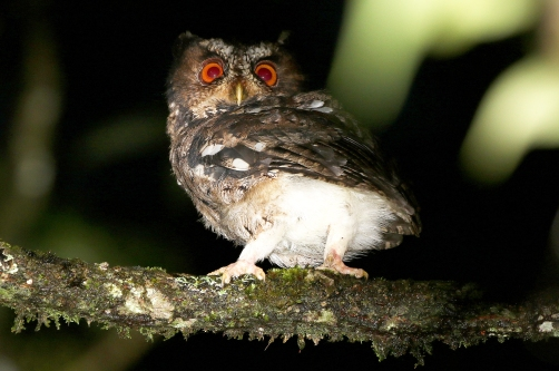 Javan Scops Owl
