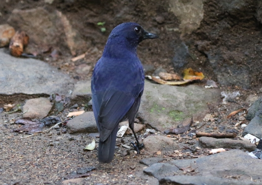 Javan Whistling Thrush
