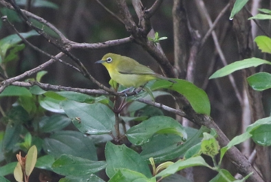 Lemon-bellied White-eye