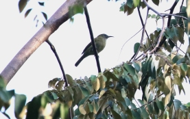 Streak-headed Honeyeater