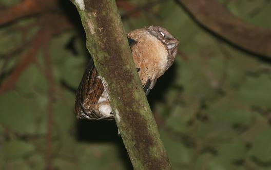 Minahassa Masked Owl
