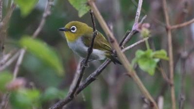 Sulawesi White-eye
