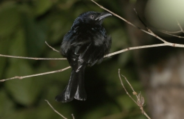 White-eyed Spangled Drongo