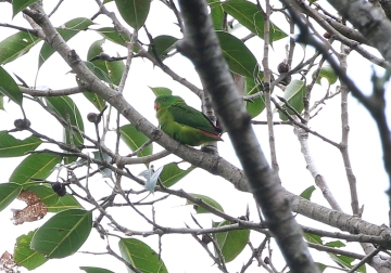 Yellow-throated Hanging Parrot
